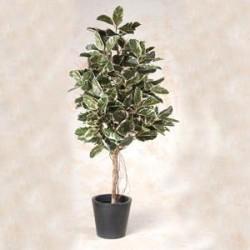 Ficus belga 180