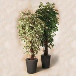 Ficus benjamina exotica 120