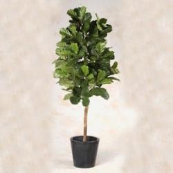 Ficus lyrata 150