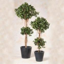 Ficus panda 180