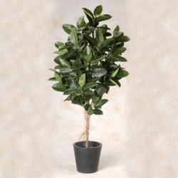 Ficus robusta 150