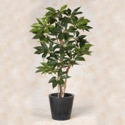 Scheflera Actinophylla 150